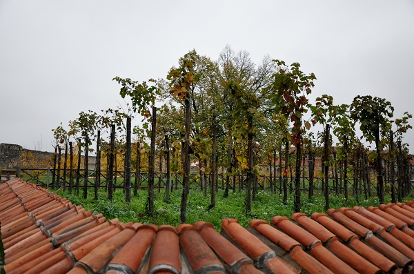 Vine yard within the monastry