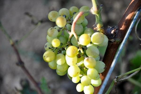grapes (600x399)